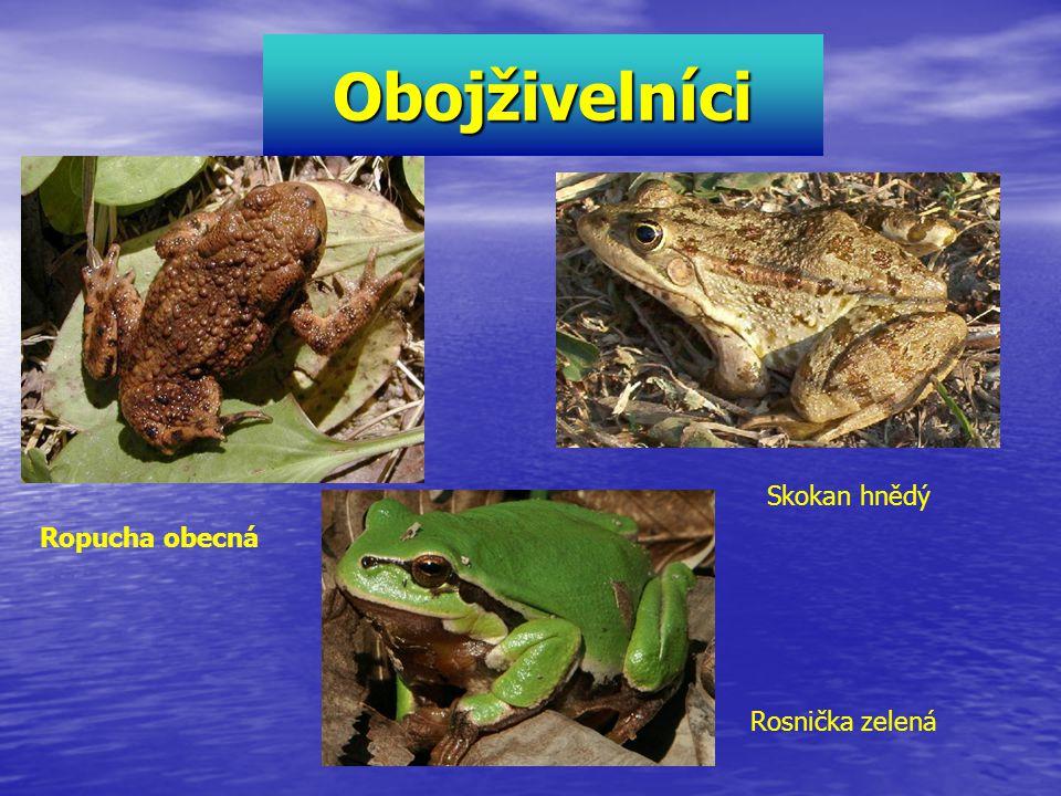 Obojživelníci Skokan hnědý Ropucha obecná Rosnička zelená