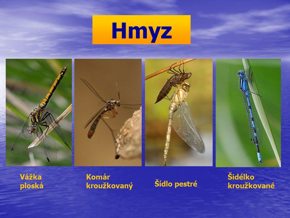 Hmyz Vážka ploská Komár kroužkovaný Šidélko kroužkované Šídlo pestré