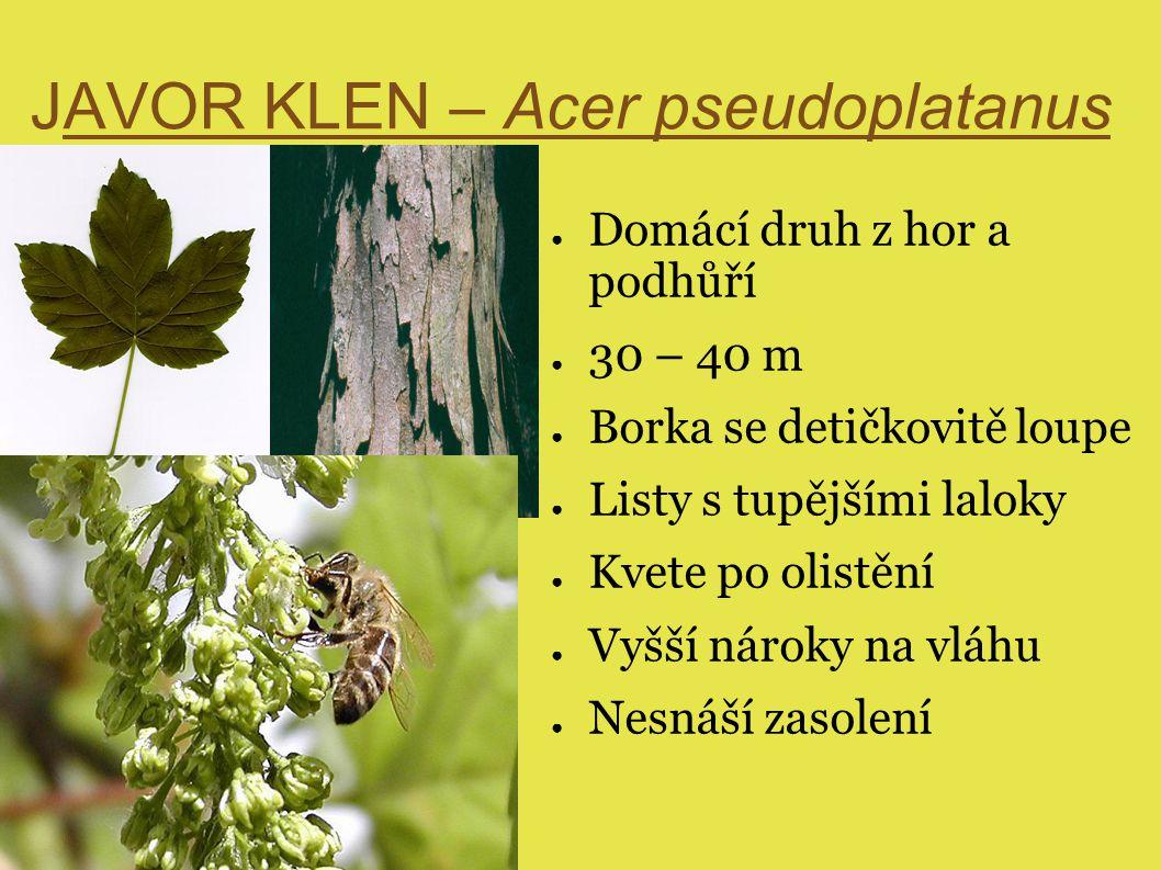 JAVOR KLEN – Acer pseudoplatanus