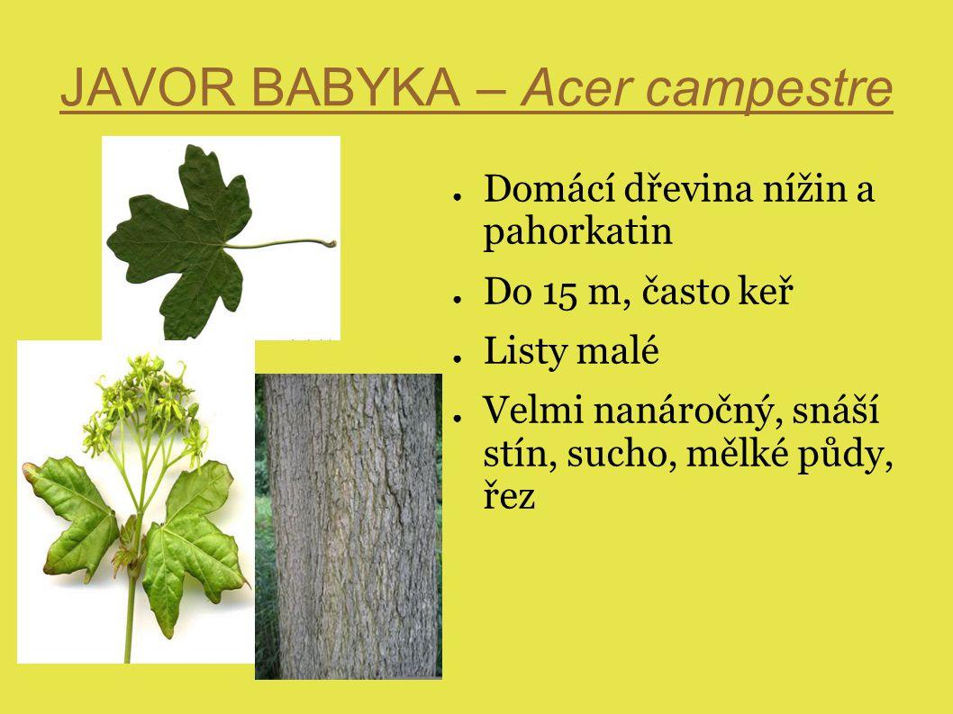 JAVOR BABYKA – Acer campestre