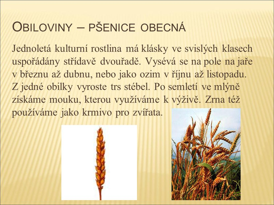 Obiloviny – pšenice obecná