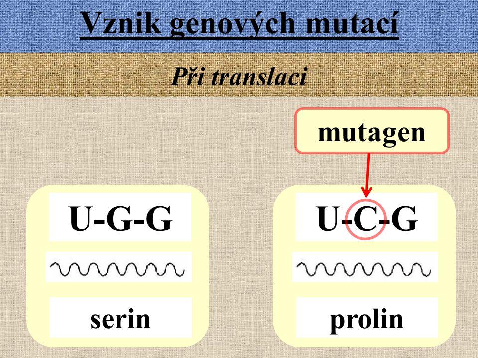 Vznik genových mutací Při translaci mutagen U-G-G U-C-G serin prolin