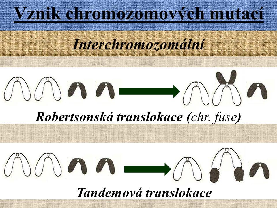 Vznik chromozomových mutací Tandemová translokace
