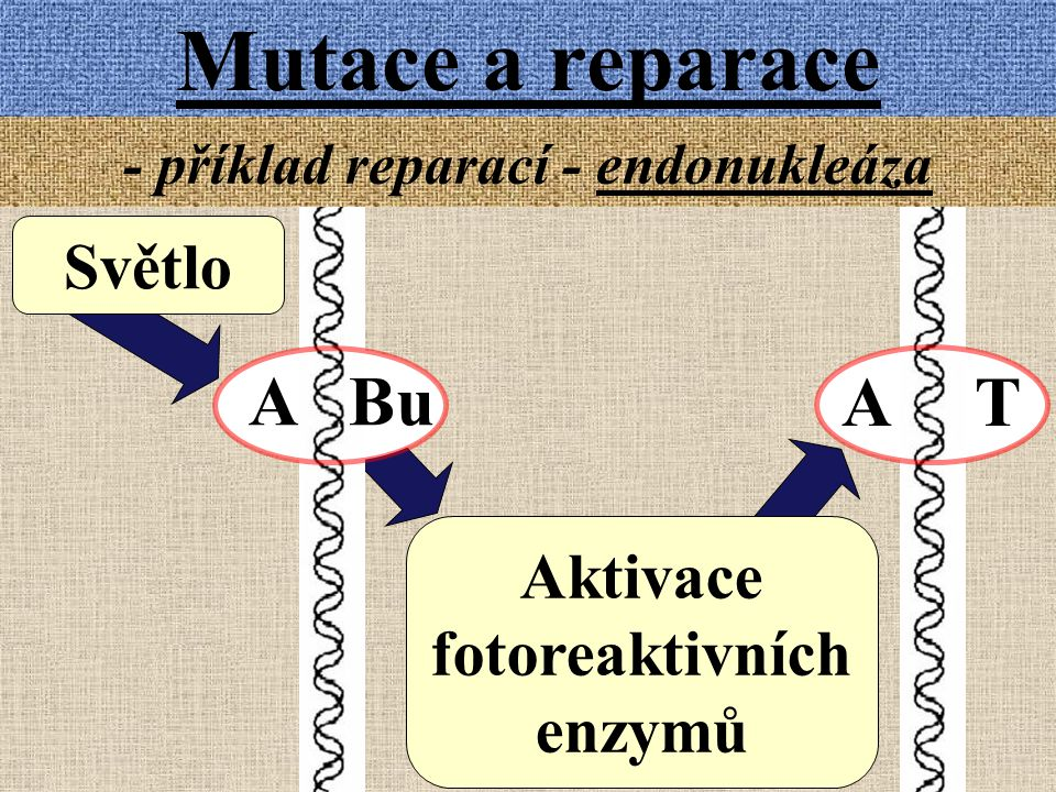 - příklad reparací - endonukleáza