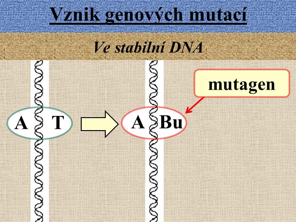 Vznik genových mutací Ve stabilní DNA mutagen A T A Bu