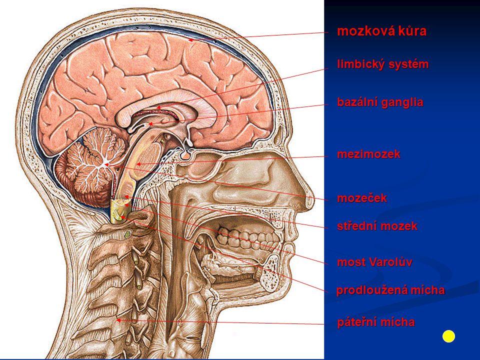 mozková kůra limbický systém bazální ganglia mezimozek mozeček