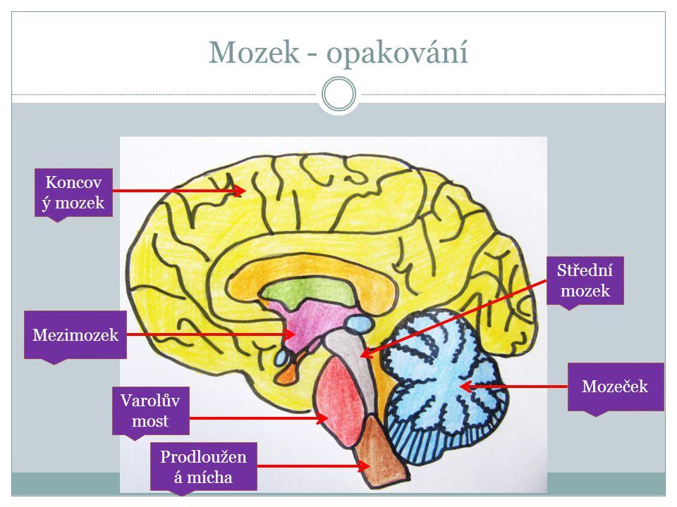 Mozek - opakování Koncový mozek Střední mozek Mezimozek Mozeček