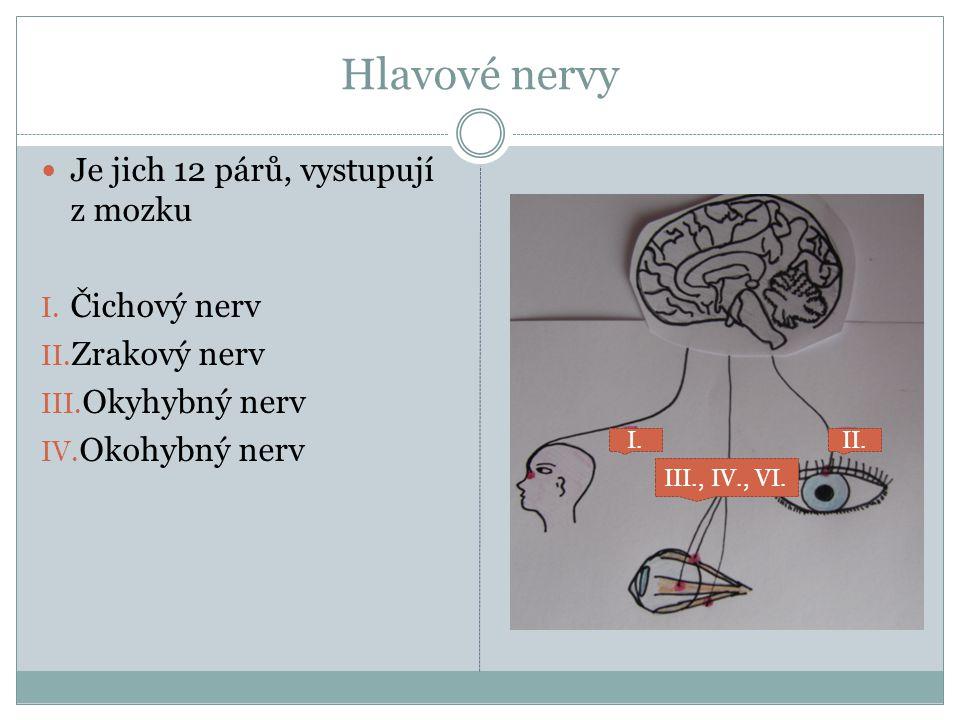 Hlavové nervy Je jich 12 párů, vystupují z mozku Čichový nerv