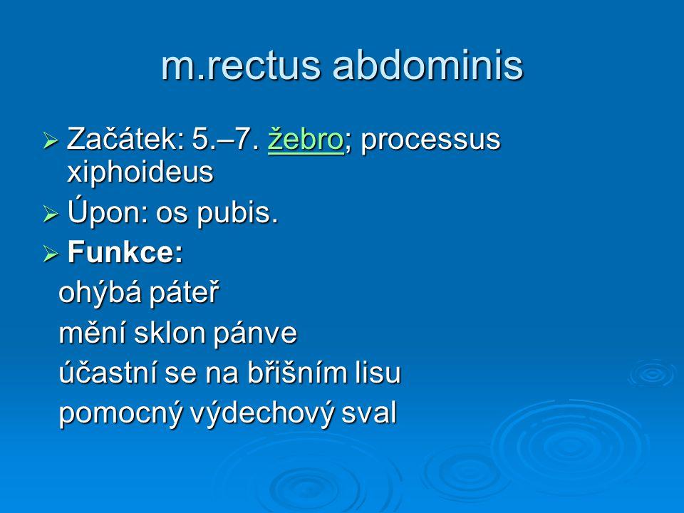 m.rectus abdominis Začátek: 5.–7. žebro; processus xiphoideus