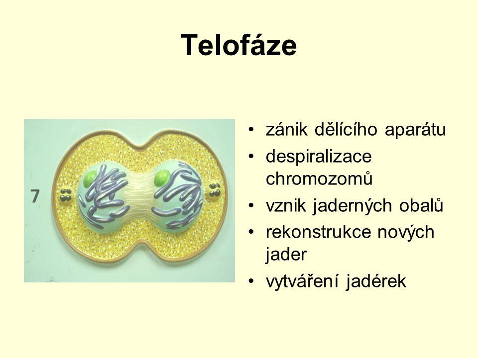 Telofáze zánik dělícího aparátu despiralizace chromozomů