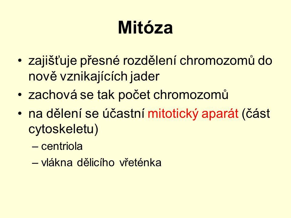 Mitóza zajišťuje přesné rozdělení chromozomů do nově vznikajících jader. zachová se tak počet chromozomů.