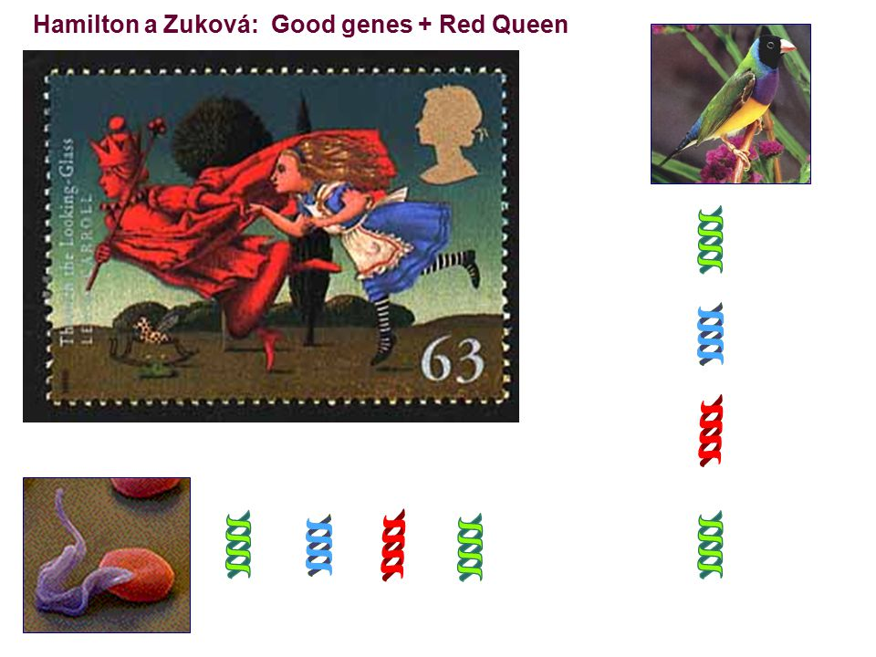 Hamilton a Zuková: Good genes + Red Queen