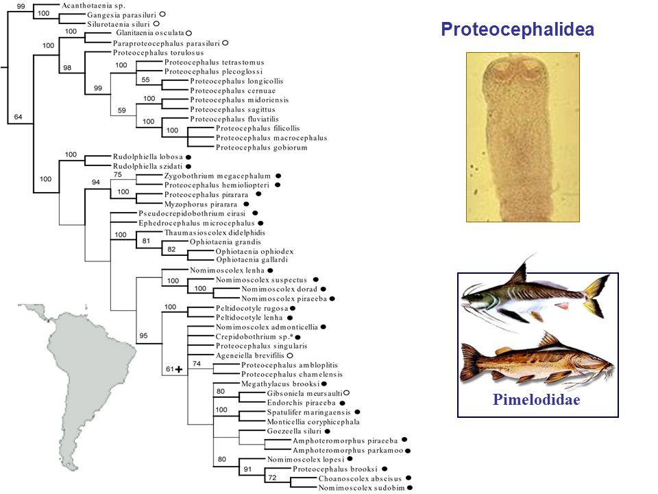Proteocephalidea Pimelodidae
