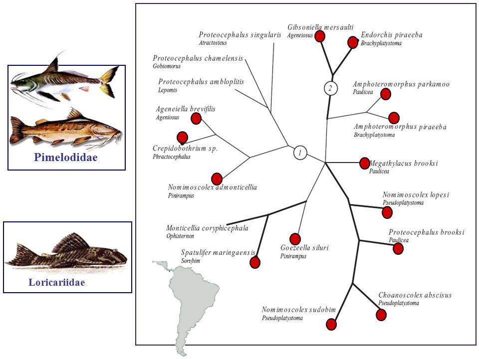 Pimelodidae Loricariidae