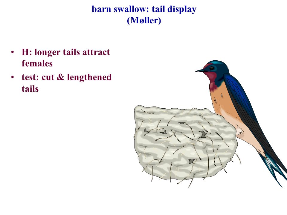 barn swallow: tail display (Møller)
