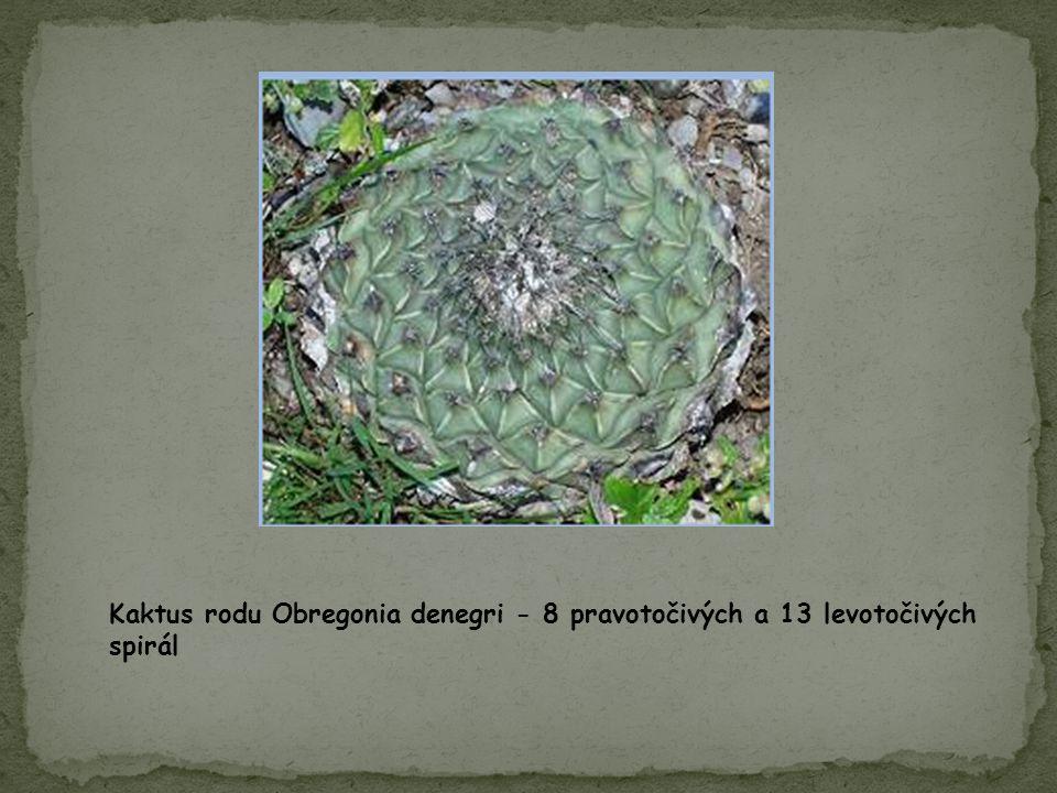 Kaktus rodu Obregonia denegri - 8 pravotočivých a 13 levotočivých spirál
