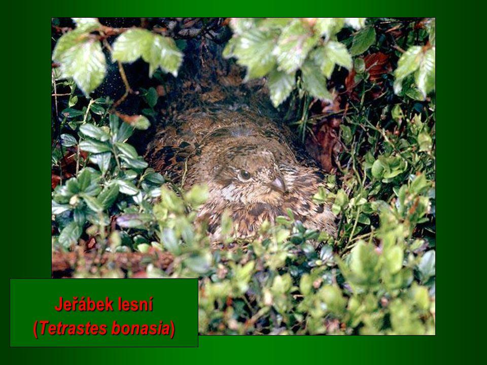 Jeřábek lesní (Tetrastes bonasia)