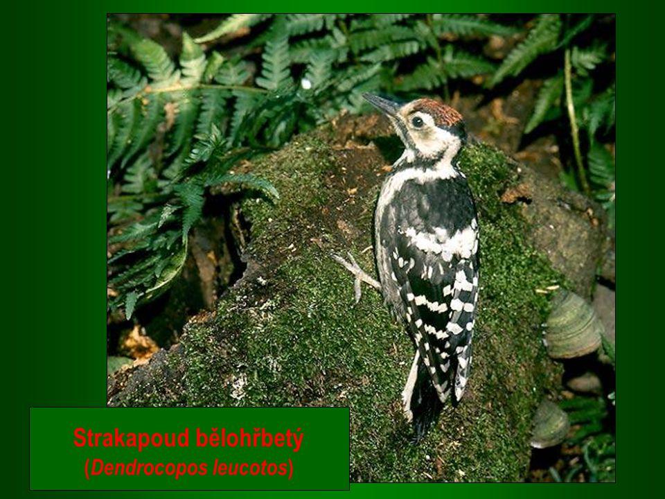 Strakapoud bělohřbetý (Dendrocopos leucotos)