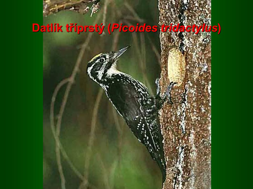 Datlík tříprstý (Picoides tridactylus)