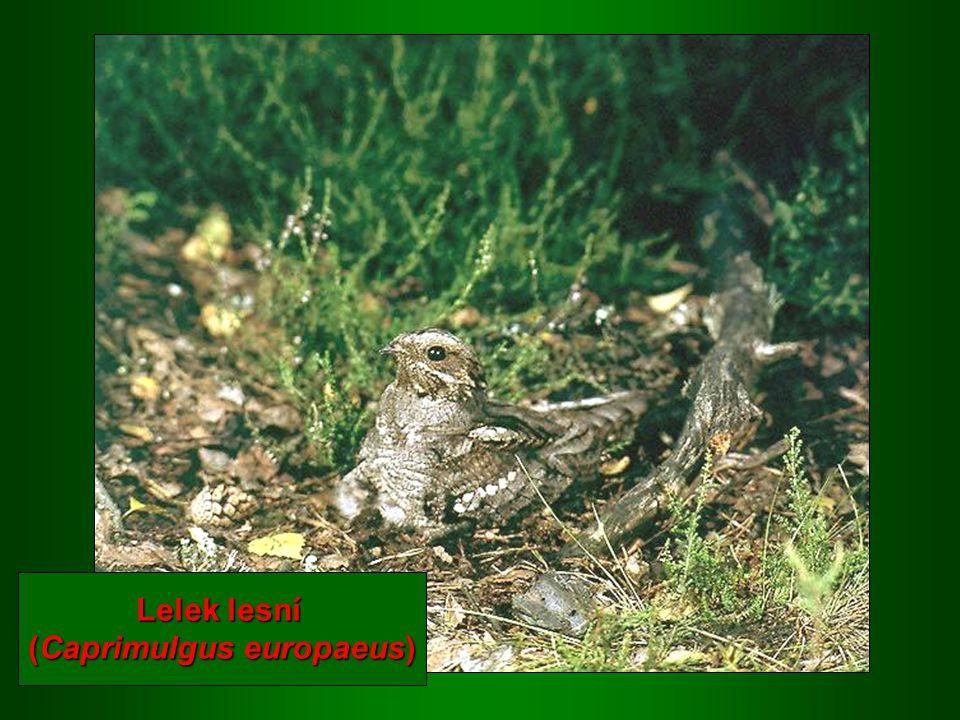 (Caprimulgus europaeus)