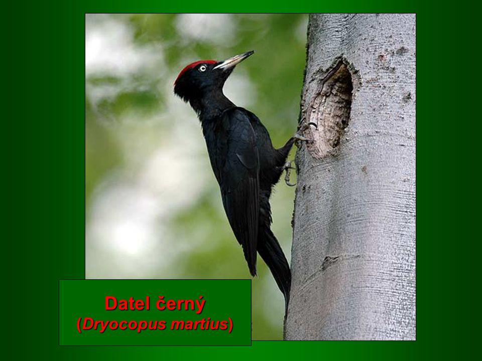 Datel černý (Dryocopus martius)
