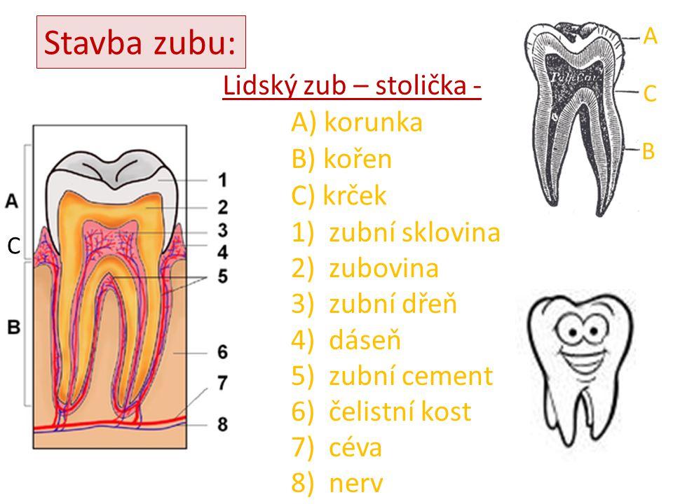 Stavba zubu: Lidský zub – stolička - A) korunka B) kořen C) krček