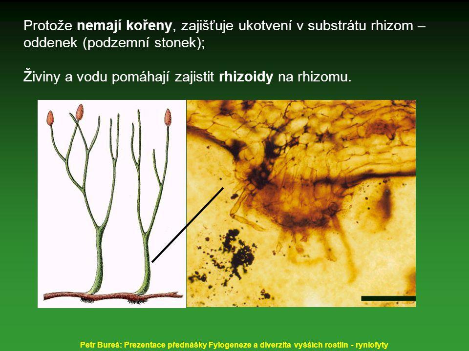 Živiny a vodu pomáhají zajistit rhizoidy na rhizomu.