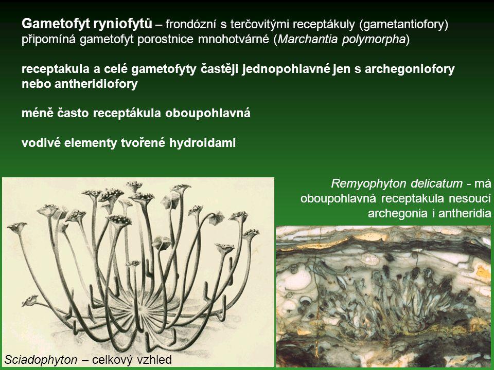 Gametofyt ryniofytů – frondózní s terčovitými receptákuly (gametantiofory) připomíná gametofyt porostnice mnohotvárné (Marchantia polymorpha)