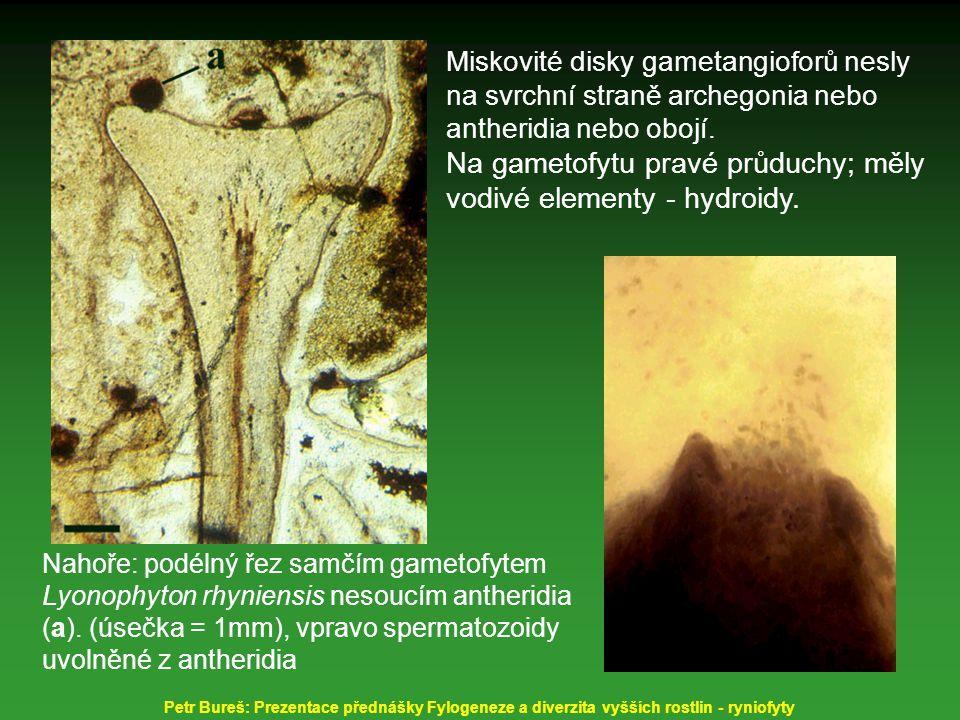 Na gametofytu pravé průduchy; měly vodivé elementy - hydroidy.