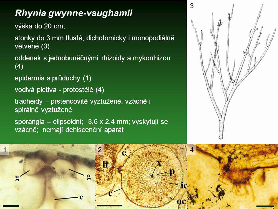 Rhynia gwynne-vaughamii