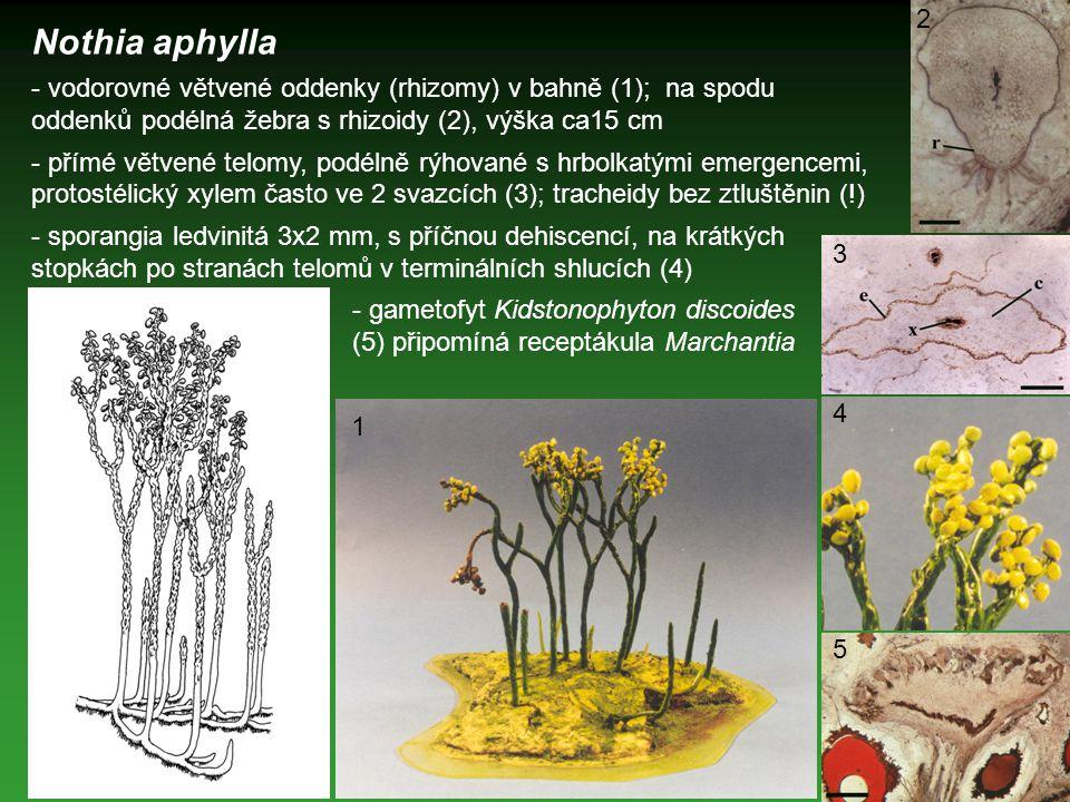 2 Nothia aphylla. - vodorovné větvené oddenky (rhizomy) v bahně (1); na spodu oddenků podélná žebra s rhizoidy (2), výška ca15 cm.