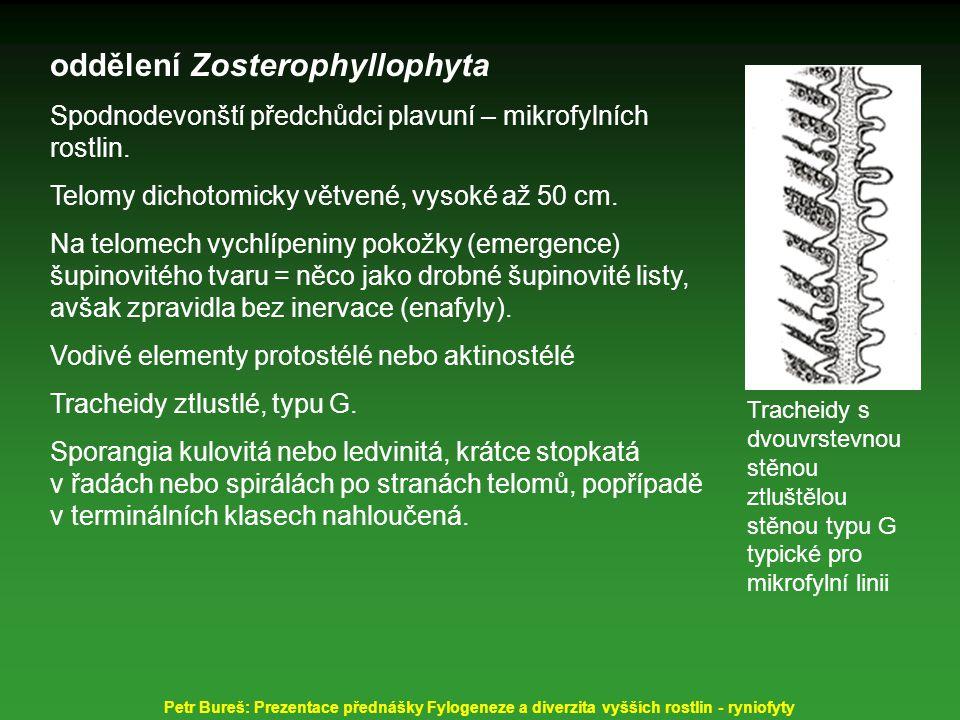 oddělení Zosterophyllophyta