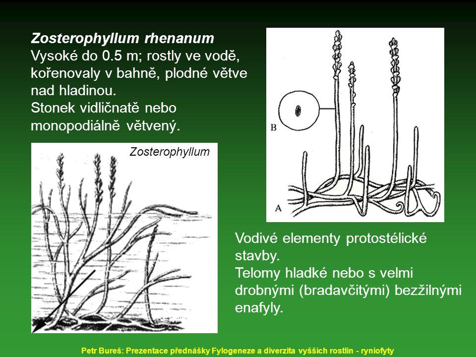 Zosterophyllum rhenanum