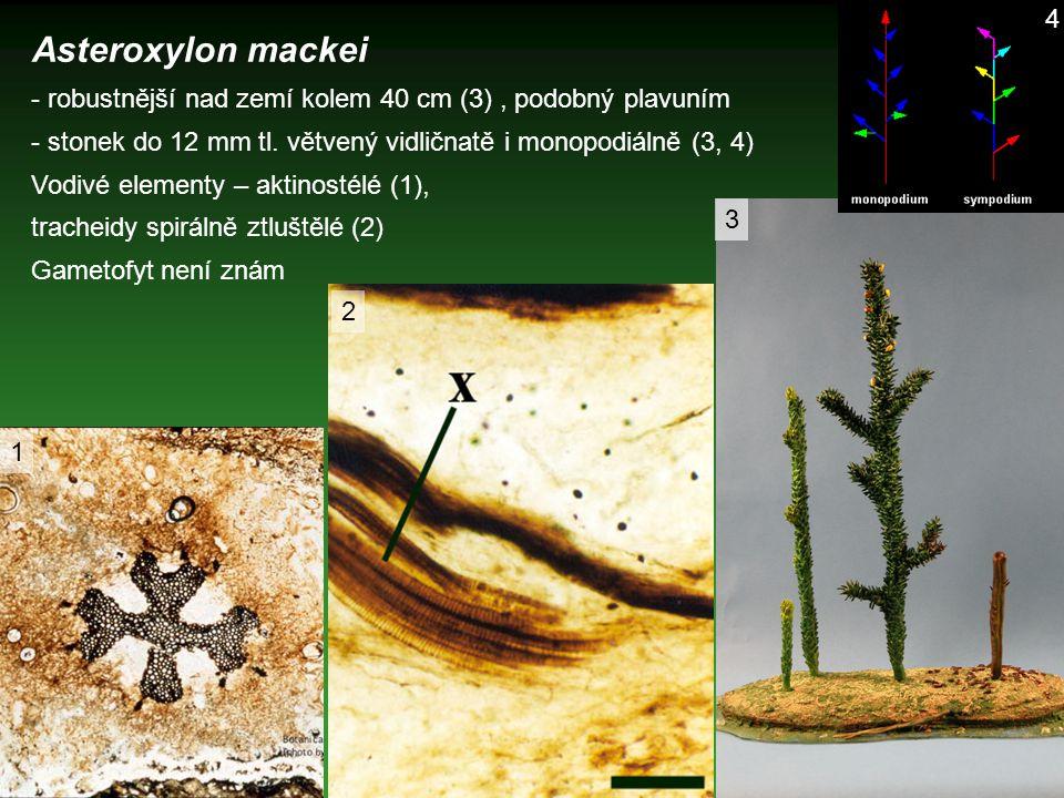 4 Asteroxylon mackei. - robustnější nad zemí kolem 40 cm (3) , podobný plavuním. - stonek do 12 mm tl. větvený vidličnatě i monopodiálně (3, 4)