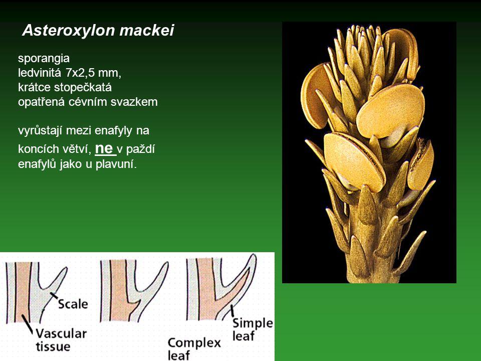 Asteroxylon mackei sporangia ledvinitá 7x2,5 mm, krátce stopečkatá