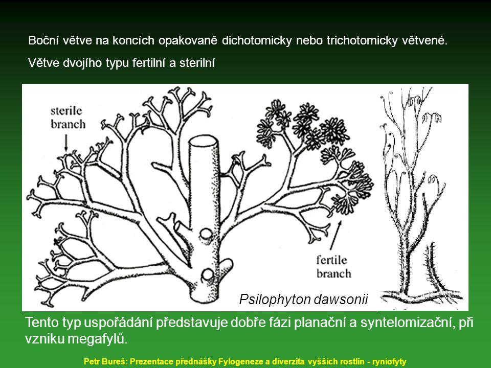 Boční větve na koncích opakovaně dichotomicky nebo trichotomicky větvené.