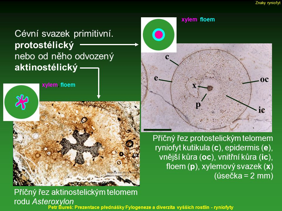 Cévní svazek primitivní. protostélický