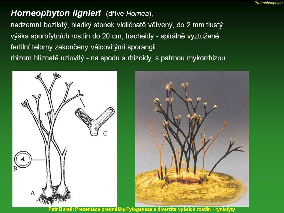 Horneophyton lignieri (dříve Hornea),