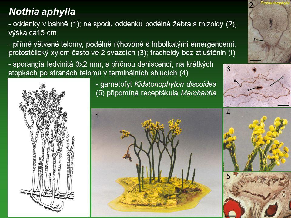 Protracheophyta 2. Nothia aphylla. - oddenky v bahně (1); na spodu oddenků podélná žebra s rhizoidy (2), výška ca15 cm.