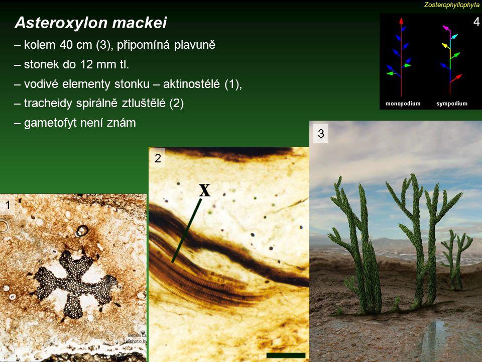 Asteroxylon mackei 4 – kolem 40 cm (3), připomíná plavuně