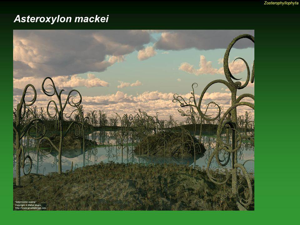 Zosterophyllophyta Asteroxylon mackei
