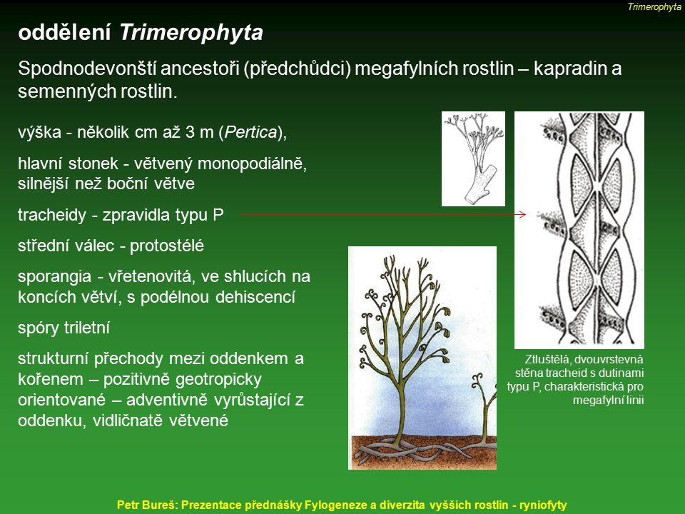 oddělení Trimerophyta