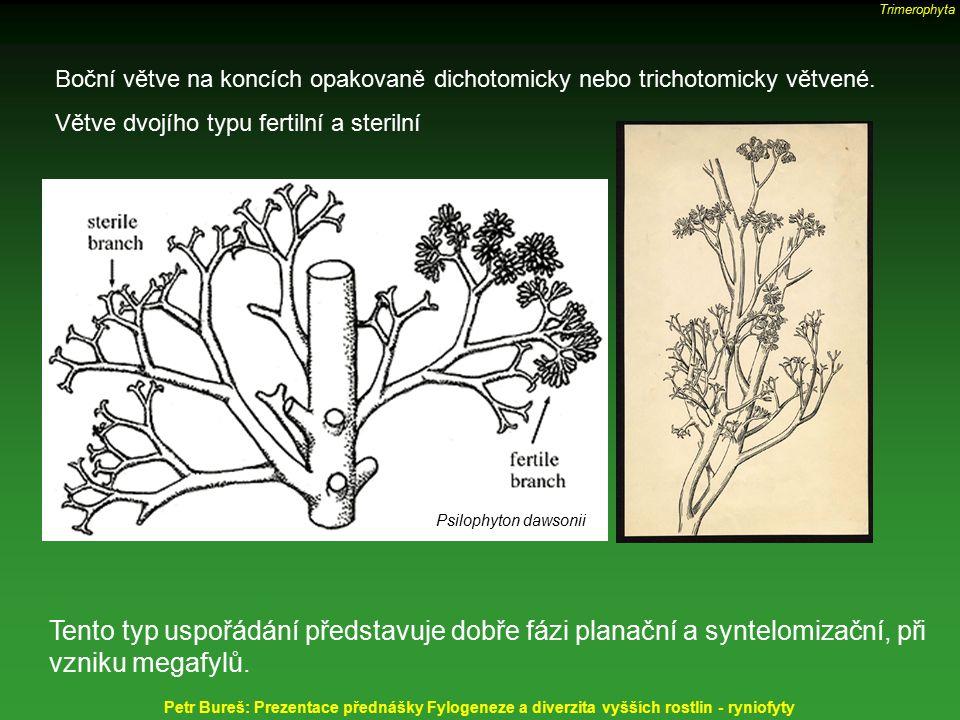 Trimerophyta Boční větve na koncích opakovaně dichotomicky nebo trichotomicky větvené. Větve dvojího typu fertilní a sterilní.