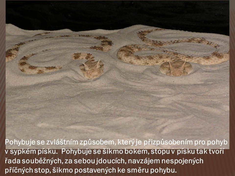 Pohybuje se zvláštním způsobem, který je přizpůsobením pro pohyb v sypkém písku.