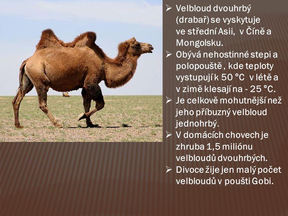 Velbloud dvouhrbý (drabař) se vyskytuje ve střední Asii, v Číně a Mongolsku.