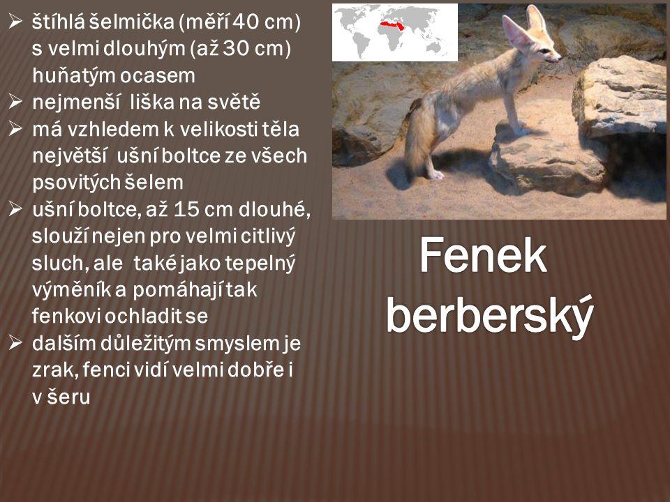 štíhlá šelmička (měří 40 cm) s velmi dlouhým (až 30 cm) huňatým ocasem