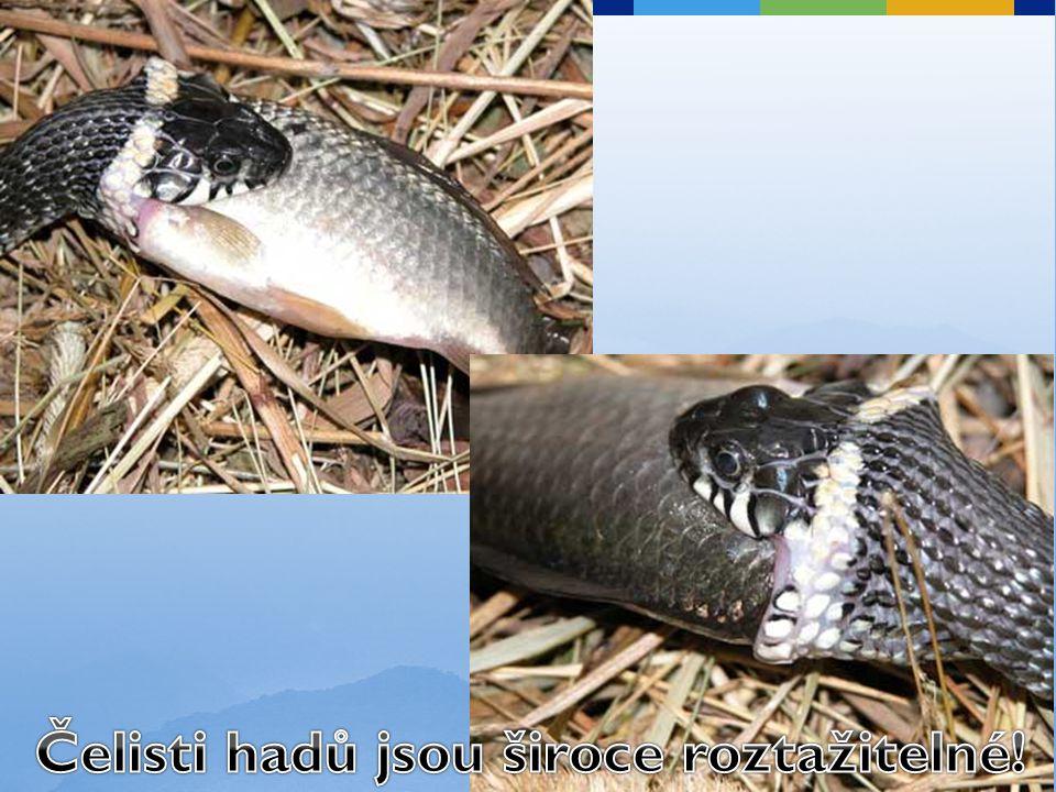 Čelisti hadů jsou široce roztažitelné!