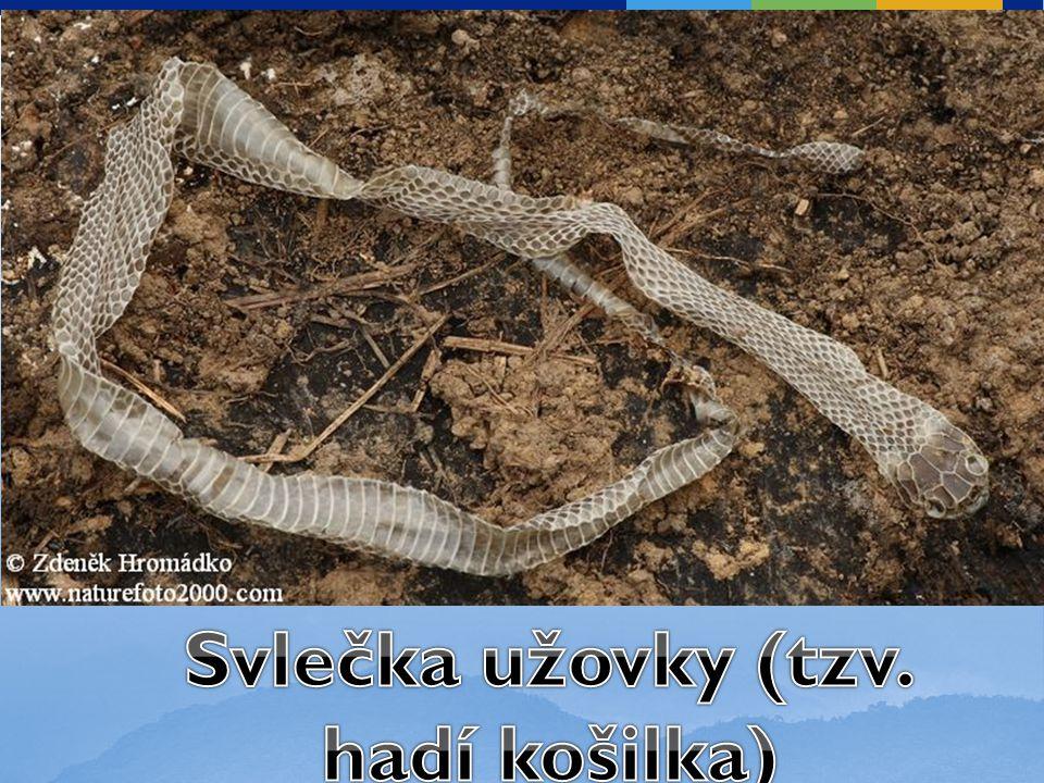 Svlečka užovky (tzv. hadí košilka)