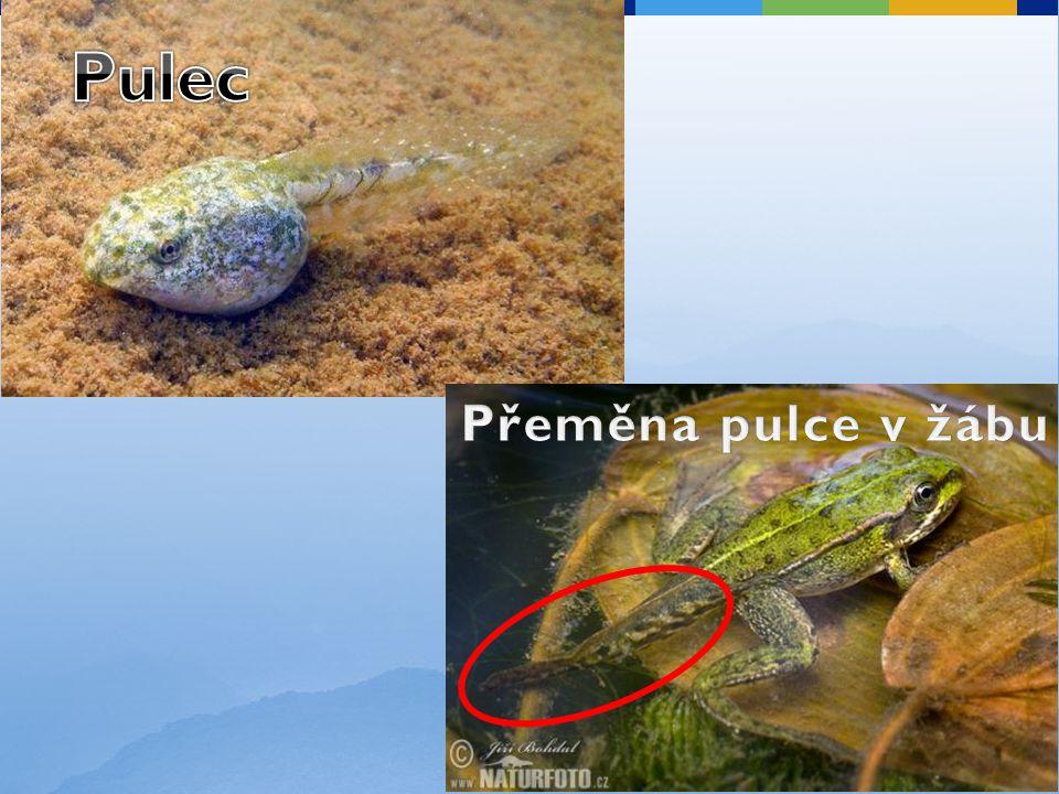 Pulec Přeměna pulce v žábu