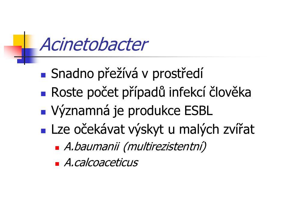 Acinetobacter Snadno přežívá v prostředí